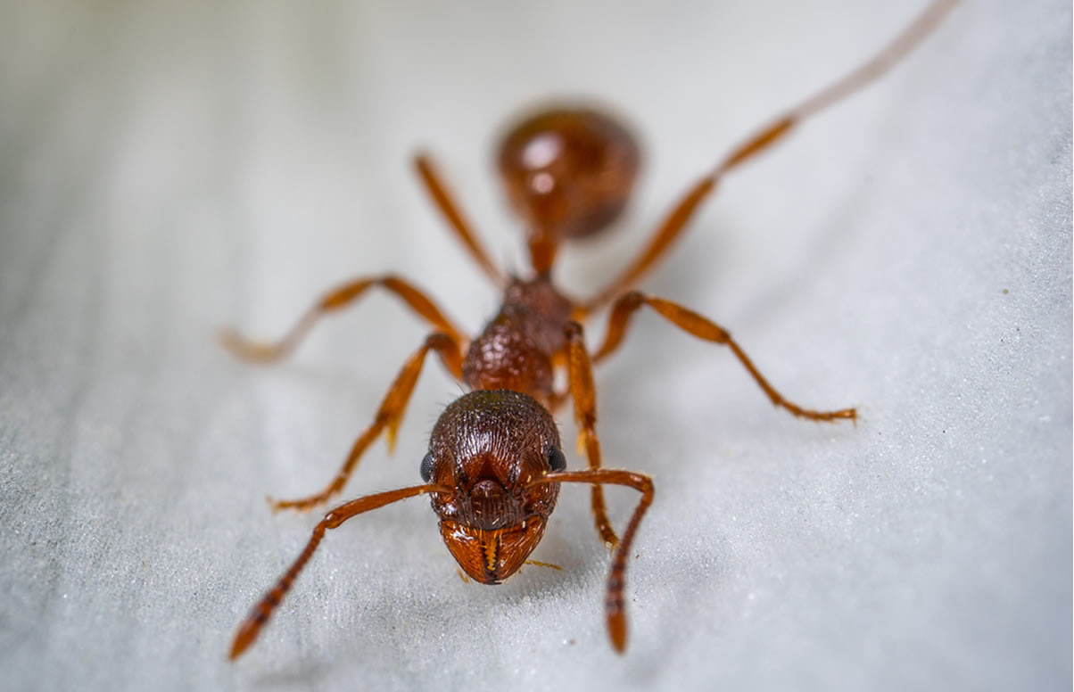 Picture showing a large red ant.